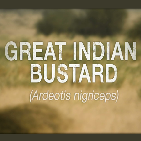 On the Brink - Great Indian Bustard